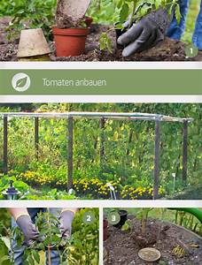 Bohnen Anbauen Anleitung : tomaten anbauen anleitung f r erfolgreichen anbau ~ Whattoseeinmadrid.com Haus und Dekorationen