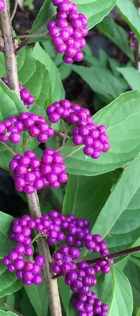 shrubs with purple berries a must have in the garden callicarpa beautyberry bush gardens sun and an eye