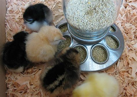 care  baby chicks   dollars  month