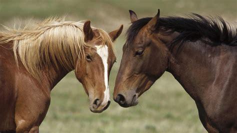 horse mare mustang colt animals vertebrate pasture stallion mane mammal foal bridle fauna wallhere hd