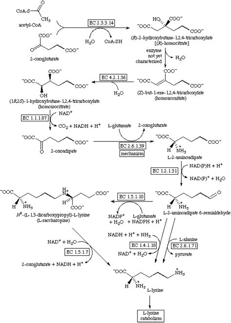 Lysine catabolism
