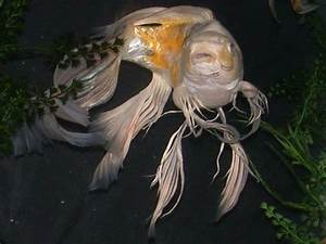 17 Best images about Creatures~ Koi Fish on Pinterest ...