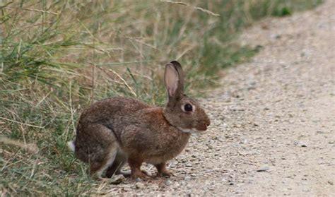 cuisiner un lapin de garenne lapin de garenne balade randonnée près de chez vous