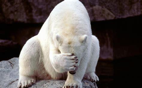 Funny Polar Bear 1440x900 Wallpapers,bear 1440x900