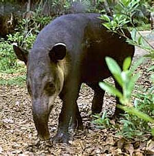 tapirs belize animals caribbean critters