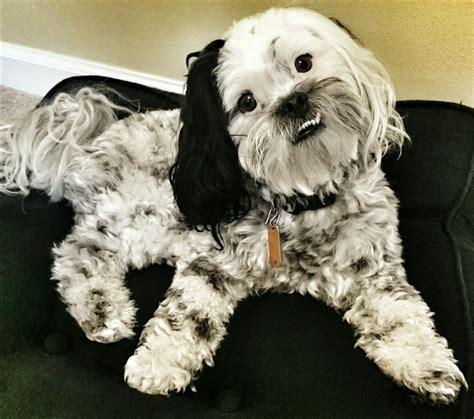 scoodle dogs discoveredcom