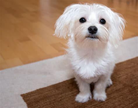 These 15 Small Dog Breeds Are Perfect For Your Apartment