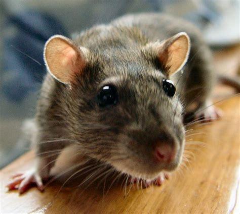 slo pest  termite rats rats