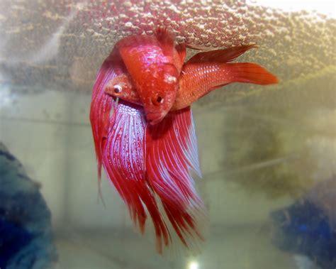 how do beta fish live how to breed bettas my aquarium club
