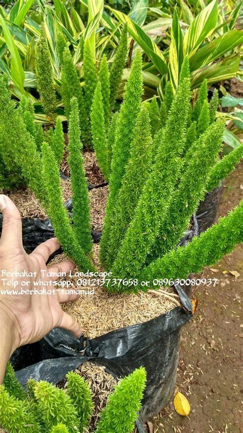 pohon ekor tupai jual tanaman hias murah tukang taman