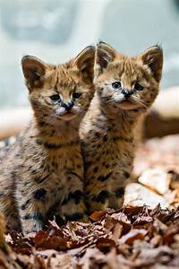 Two cute serval babies | Pinimals | Pinterest