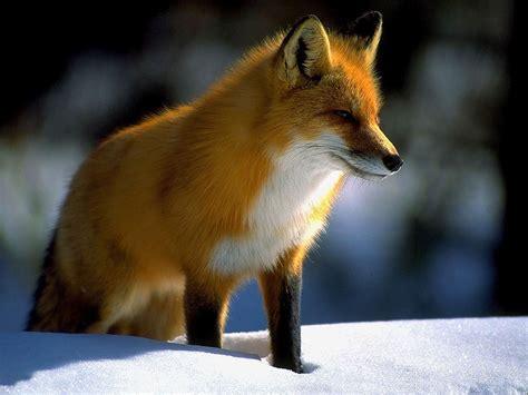 Animal Fox Wallpaper - denali national park alaska fox picture white fox