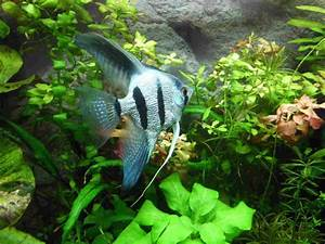 Freshwater angelfish: care, types, tank mates, breeding
