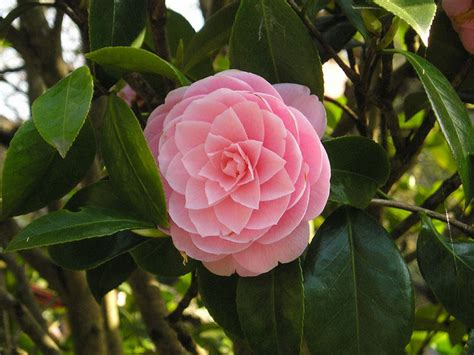 types of camellia flowers camellia plants and flowers camellia varieties sinensis japonica