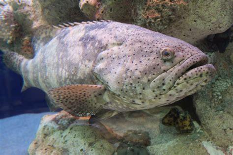 grouper species catch goliath aquarium south