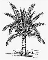 Palm Coloring Tree Trees Date Clipart Drawing Plants Pages Planting Painting Colouring Printable sketch template