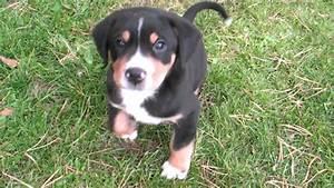 Wie Alt Werden Berner Sennenhunde : gro e schweizer sennenhunde welpen 6 wochen alt youtube ~ Eleganceandgraceweddings.com Haus und Dekorationen