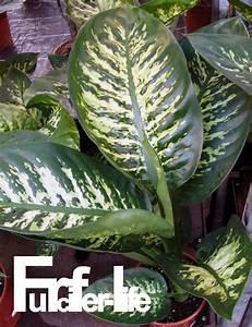 Zimmerpflanze Große Blätter : furcifer life madagaskar pflanzen arten ~ Lizthompson.info Haus und Dekorationen