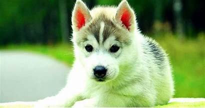 Husky Puppy Siberian Wallpapers Dog