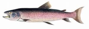 Five Reasons You Should Stop Eating Salmon | MEATONOMIC$