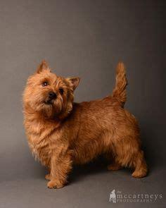 norwich terrier norwich terriers pinterest norwich