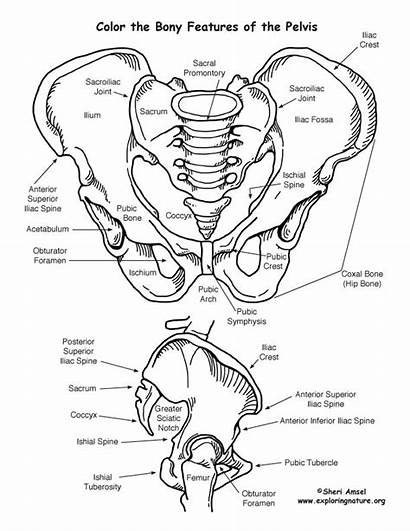 Coloring Pelvis Pages Skeletal System Features Bony