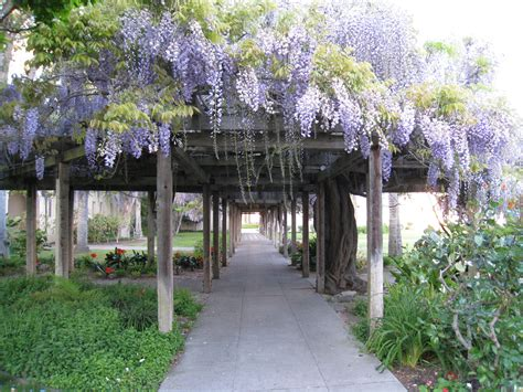 gardens with arbors wisteria plant care guide auntie dogma s garden spot