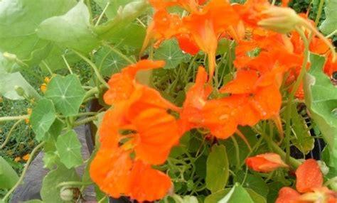 les fleurs comestibles en cuisine les fleurs comestibles au menu 1ere partie nathalie en herbe herboriste et soins au naturel