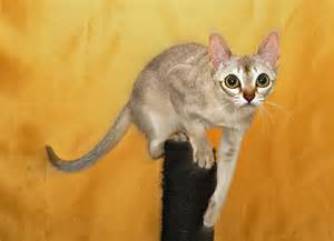 smallest cat breed top 5 smallest domestic cats cats around the globe