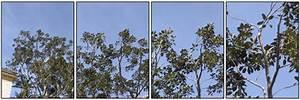 Comment Tailler Un Ficus : taille d 39 un superbe ficus au consulat d 39 italie de bastia ~ Melissatoandfro.com Idées de Décoration