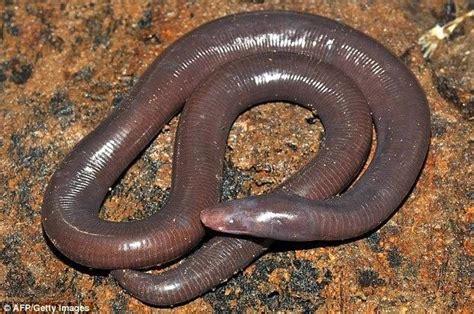spesies  mirip cacing raksasa ditemukan  kamboja ajaib  aneh