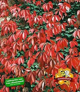 Immergrüne Kletterpflanze Winterhart : kletterpflanze winterhart test gartenbau f r jederman ganz einfach m rz 2019 ~ Yasmunasinghe.com Haus und Dekorationen