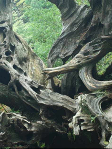 cedar tree root system 47 best images about trees cedar on pinterest trees north cascades national park and washington