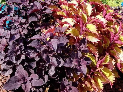 coleus varieties  ready  garden shade  sun