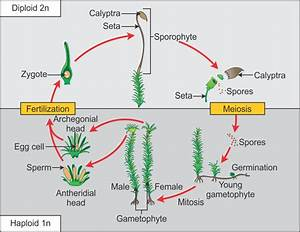 Explain The Life Cycle Of Bryophytes Pteridophytes
