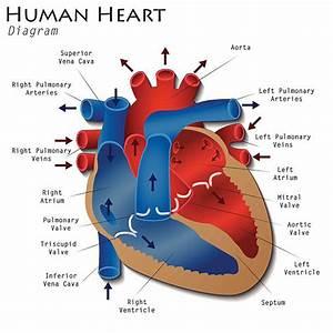 Royalty Free Human Heart Clip Art  Vector Images