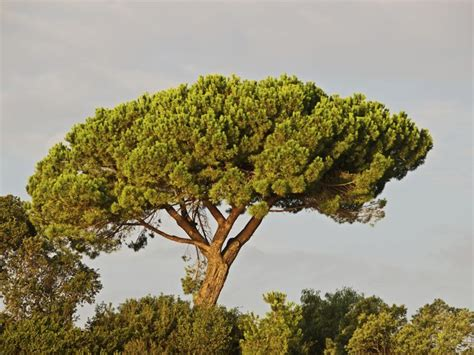 italian pine tree 22 best trees and plants of italy images on 7609