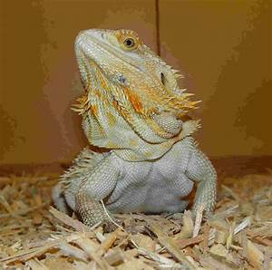 Breaded Dragons |Breaded Dragon | Breaded Dragon care
