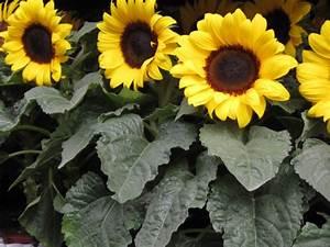 Sonnenblume Im Topf : sonnenblume helianthus im topf f r den balkon bl mchen floristik ~ Orissabook.com Haus und Dekorationen