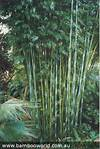 33 best Clumping Bamboo images on Pinterest | Clumping clumping bamboo garden