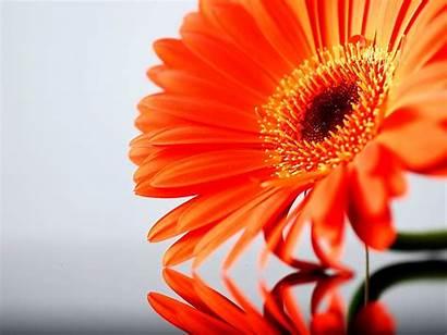 Orange Flowers Wallpapers Flower Daisy Gerbera Roses