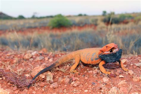 what kind of heat l for bearded dragon lizards and the language of colour change scientific