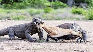 Komodo dragons playing pull the wishbone with a goat ...