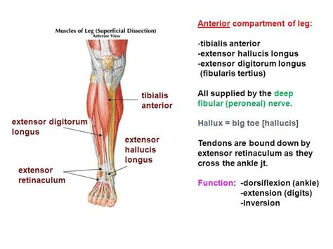 Almost every muscle constitutes one part of a pair of identical bilateral muscles, found on both sides, resulting in approximately 320 pairs of muscles. 17 Best images about Anatomy Trains on Pinterest | Muscle, The muscle and Search