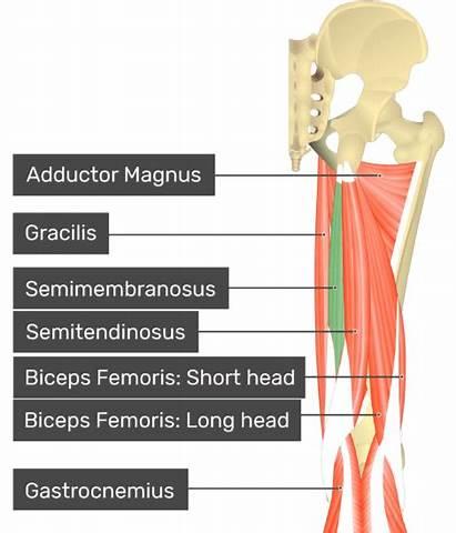 Semitendinosus Semimembranosus Muscles Attachments Femoris Biceps Muscle