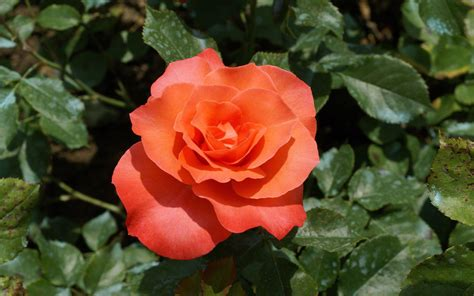 Beautiful Orange Roses Wallpapers by Photography Wallpaper 25708