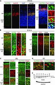Auts2 Expression In The Developing Cerebral Cortex  A