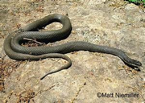 Tennessee Watchable Wildlife Queen Snake