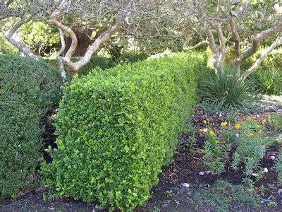 sunny garden service pittosporum tenuifolium