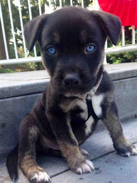 pitbull  husky mix  blue eyes tiere
